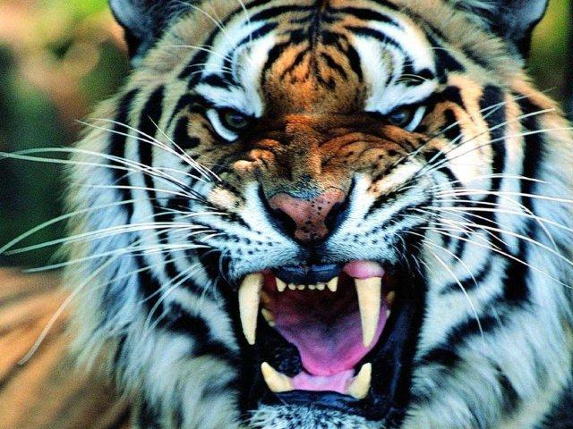 Roaring Tiger 壁紙画像