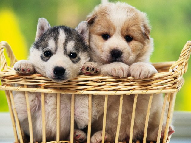 Two Puppies In A Basket 壁紙画像
