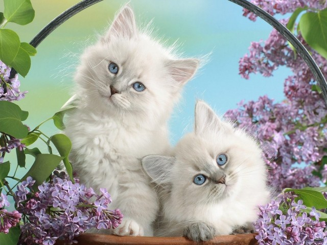 White Cats Together 壁紙画像