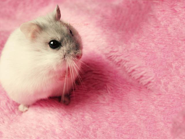Animal Mouse 壁紙画像
