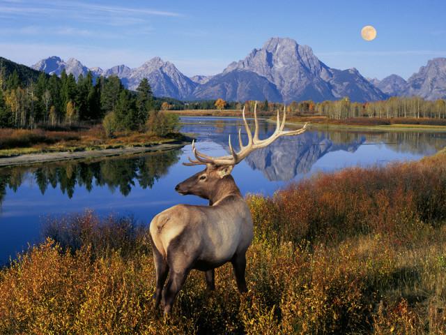 Deer 壁紙画像
