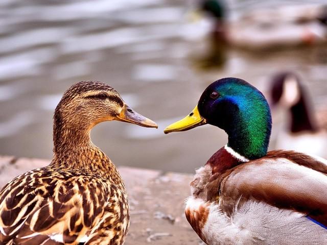 Duck 壁紙画像
