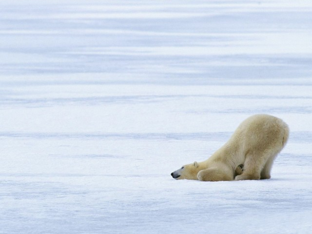 Funny Polar Bear Pose 壁紙画像