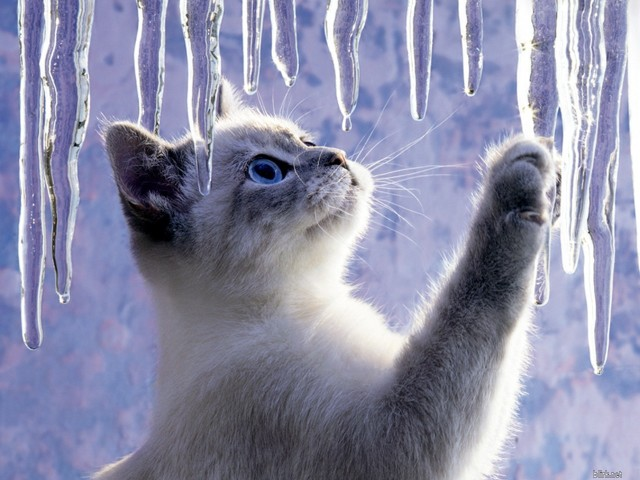 Kitty Looking At Icicles 壁紙画像