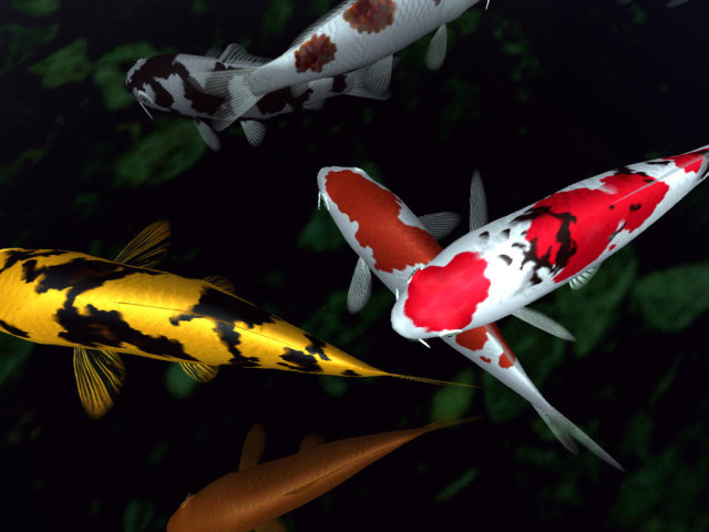Koi Animal 壁紙画像