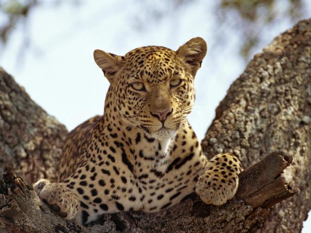 Leopard 壁紙画像