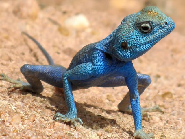 Lizard 壁紙画像