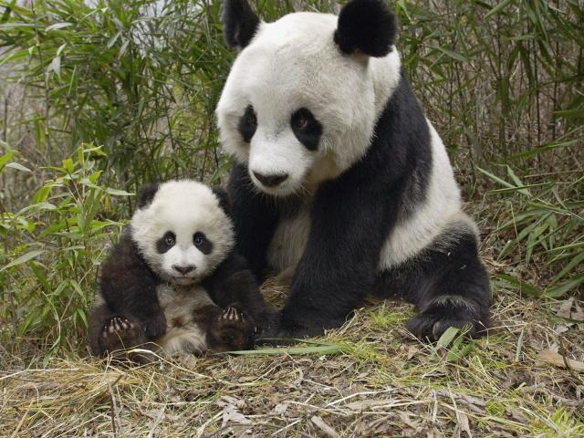 Mother And Baby Panda 壁紙画像