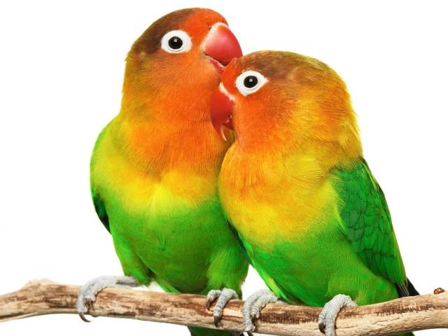 Parrot 壁紙画像