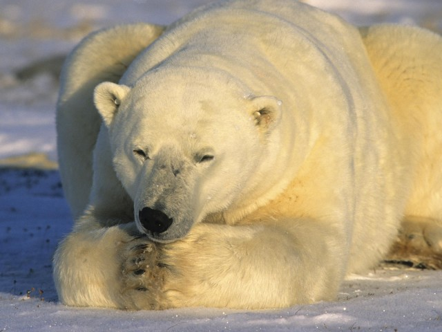 Polar Bear 壁紙画像