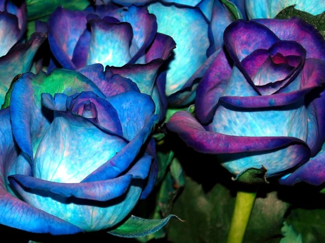 Purple Blue Roses 壁紙画像