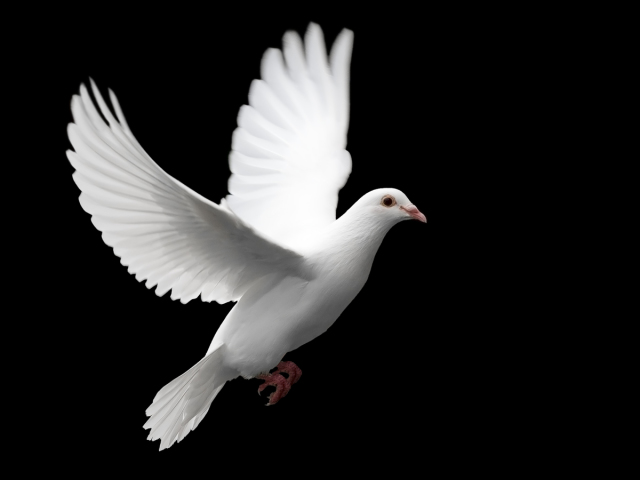 The White Dove 壁紙画像