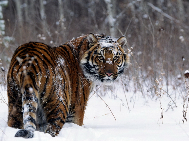 Tiger On A Snow Field 壁紙画像