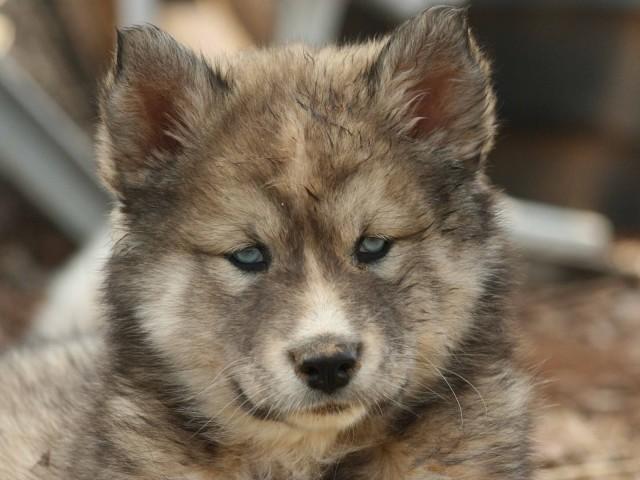 Animal Wolf 壁紙画像