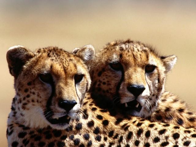 Cheetah 壁紙画像