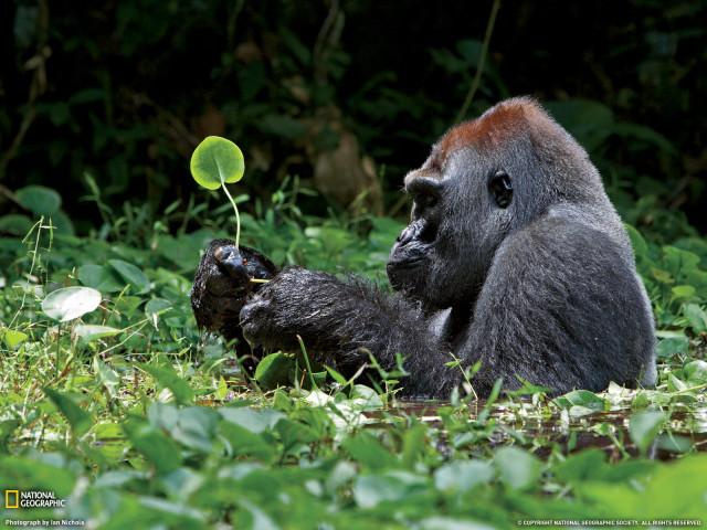 Gorilla 壁紙画像