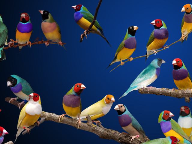 Gouldian Finches 壁紙画像