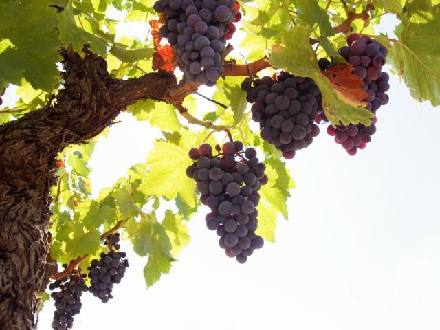 Grapes 壁紙画像