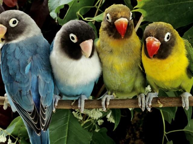 Lovebirds 壁紙画像