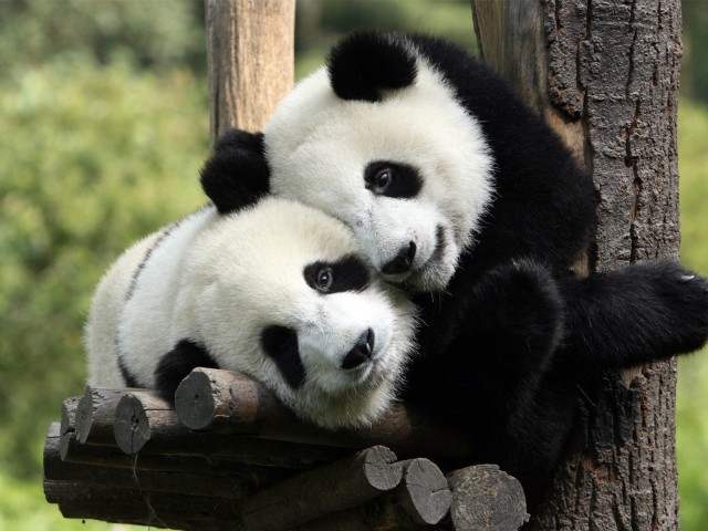 Panda's Hugging 壁紙画像