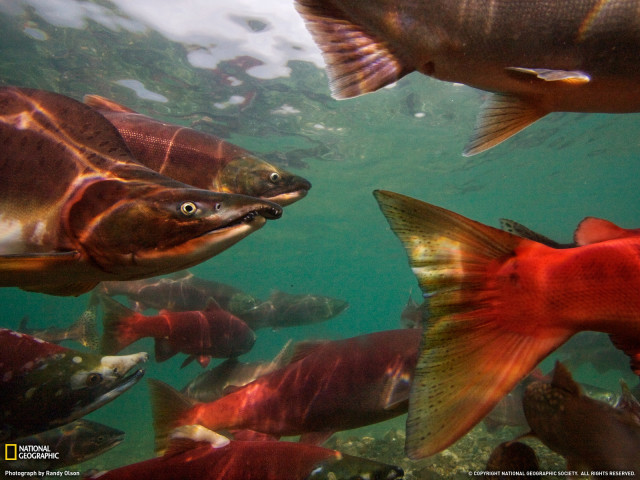 Salmon 壁紙画像