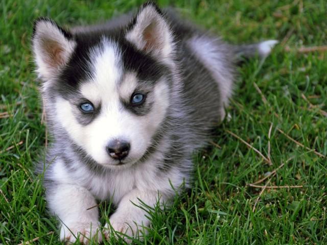 Siberian Husky Pup 壁紙画像