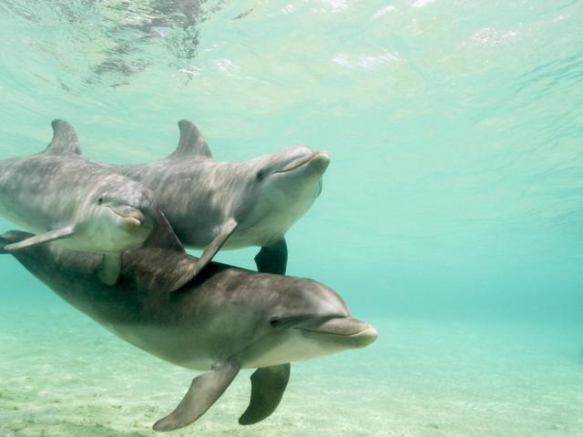 Swimming Dolphins 壁紙画像