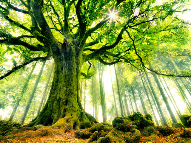 The Ent Tree 壁紙画像