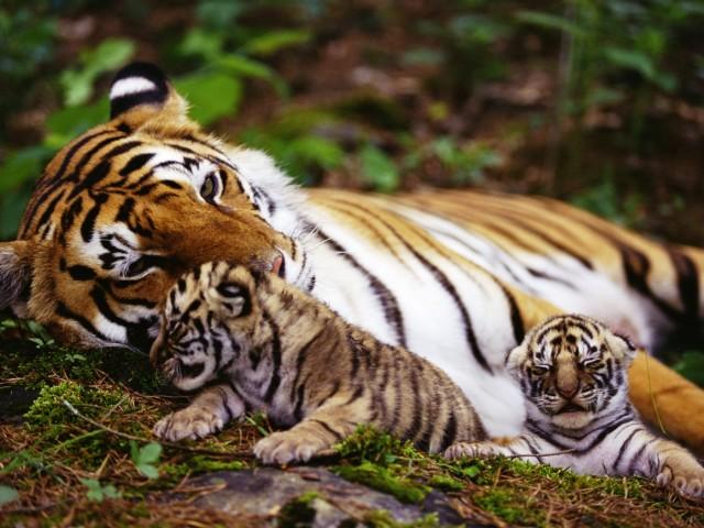 Tiger 壁紙画像