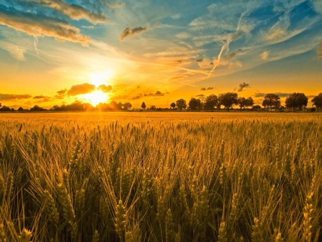 Wheat 壁紙画像