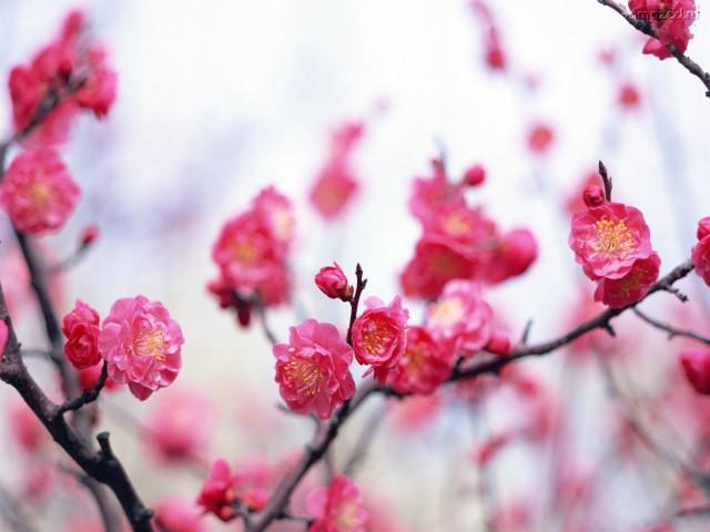 Blossom 壁紙画像