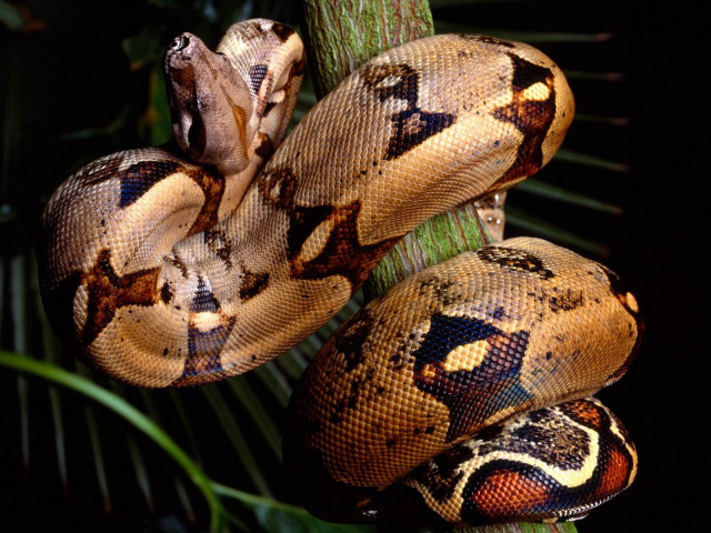 Brown Boa Constrictor 壁紙画像