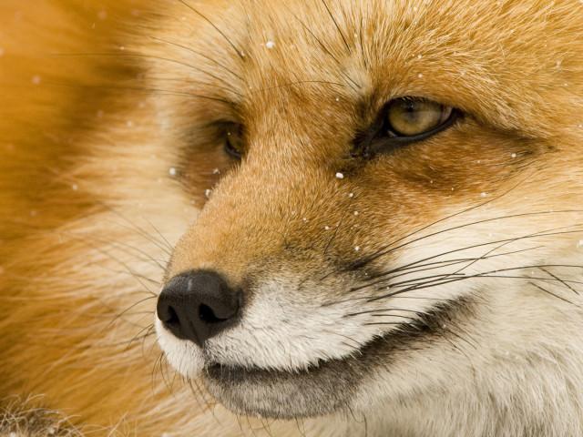 Fox 壁紙画像