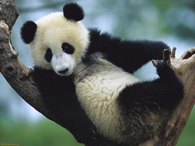 Panda Bear Up A Tree 壁紙画像