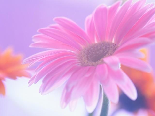 Pink Daisy 壁紙画像