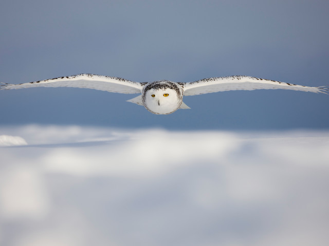 Snowy Owl 壁紙画像