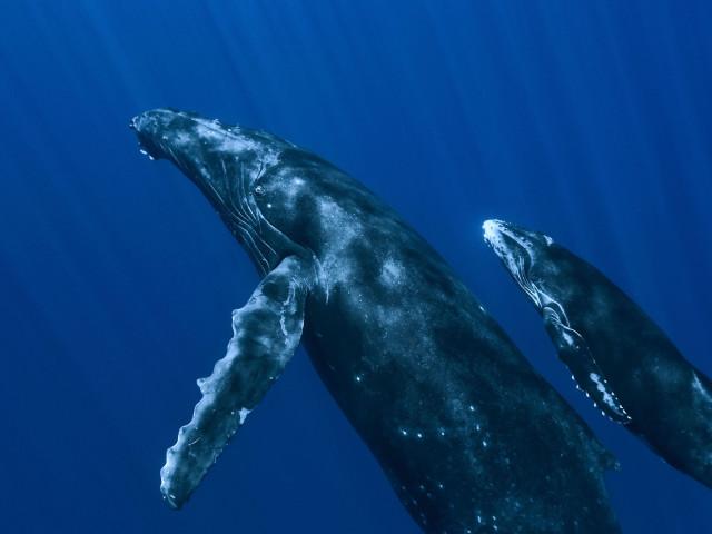 Sperm Whales 壁紙画像