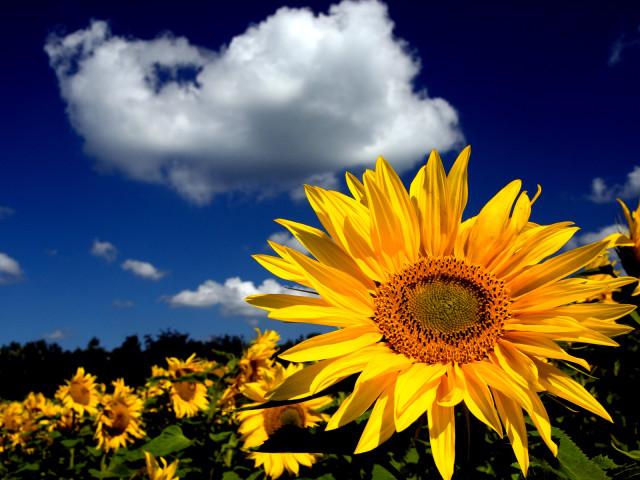 Sunflowers 壁紙画像