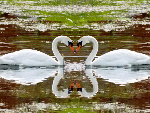 Swan 壁紙画像