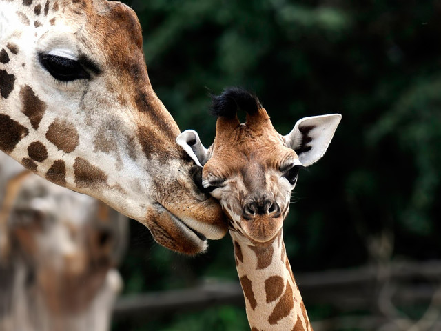 Mother And Baby Giraffe 壁紙画像